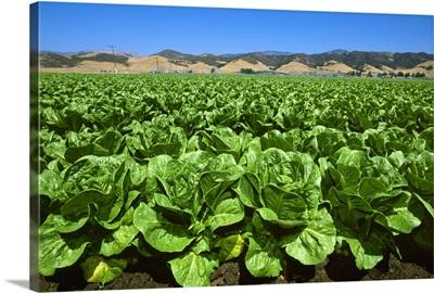 Field of Romaine lettuce in midsummer