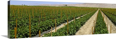 Field of staked bell pepper plants