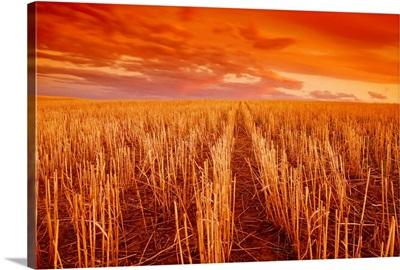 Field of wheat stubble at sunset, near Ponteix, Saskatchewan, Canada
