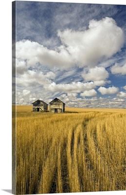 Field Showing Remains Of Wheat Straw After Summer Hail Damage, Saskatchewan