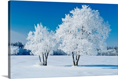 Field With Frost Covered Trees, Birds Hill Provincial Park, Manitoba, Canada