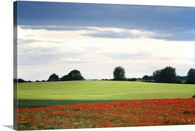 Field With Red Flowers, Yorkshire, England