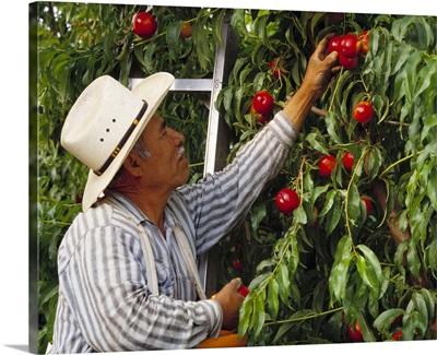 Field worker harvesting nectarines, Fresno County, California