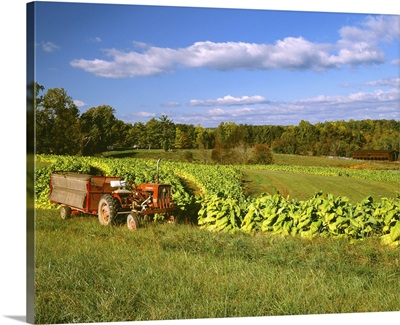 Fields of maturing Flue cured, or Bright tobacco