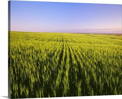 Fields of maturing green wheat in early morning light