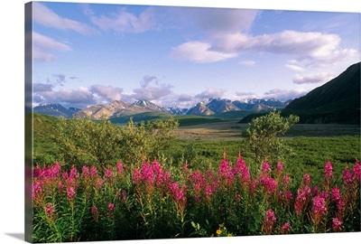 Fireweed Alaska Range Denali