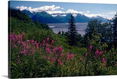 Fireweed and Chugach Mts Turnagain Arm SC Alaska