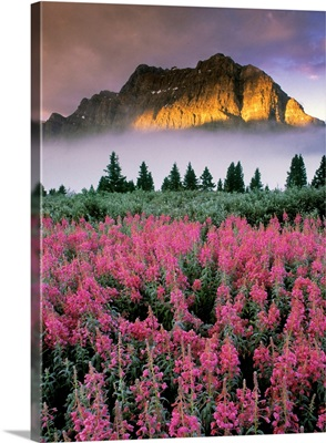 Fireweed And Mountain, Bow Summit, Crowfoot Mountain, Banff, Alberta, Canada