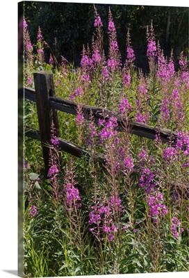 Fireweed and split rail fence, South-central Alaska in summertime, Alaska