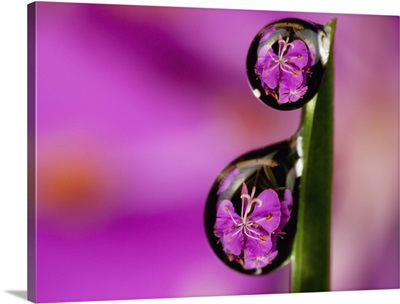 Fireweed Bloom Magnified, Inverted And Reflected In Dew Drops On A Blade Of Grass