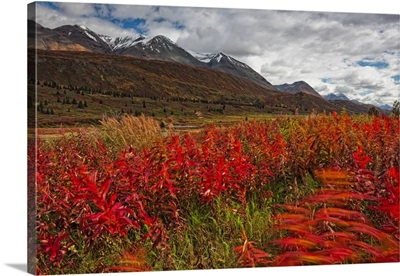 Fireweed Blowing In The Wind Along The Haines Highway, British Columbia Canada