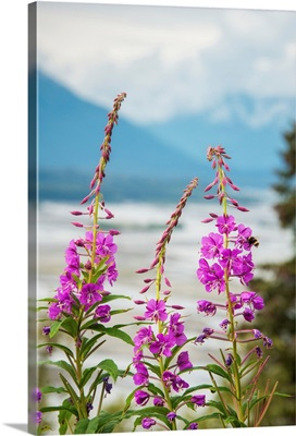 Fireweed (Epilobium angustifolium) with the Alaskan Susitna River in the background