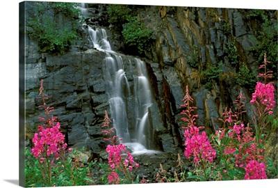 Fireweed in Bloom near Waterfall Turnagain Pass AK KP Summer