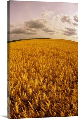 Fisheye view of a field of mature, harvest ready winter wheat in late afternoon light
