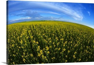 Fisheye view of a field of mid growth oriental mustard in full bloom