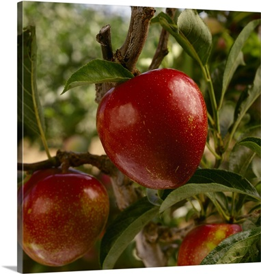 Flavor King pluots on the tree, ripe and ready for harvest, Morgan Hill, California