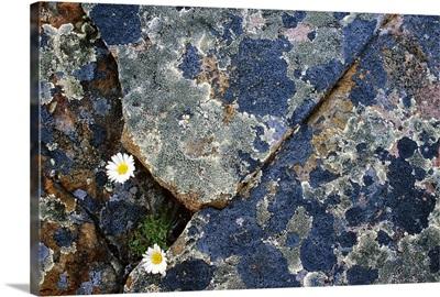 Fleabane And Crustose Lichen On Rocks