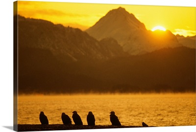 Flock of Bald Eagles roost on the shore at sunset