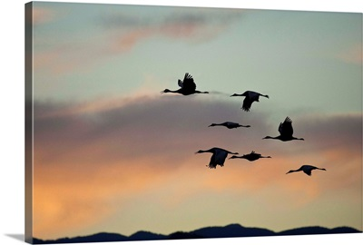 Flock of flying sandhill cranes at sunset, Bosque del Apache Wildlife Refuge, New Mexico
