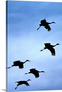 sandhill latin singles Download sandhill crane stock photos affordable and search from millions of royalty free images, photos and vectors.