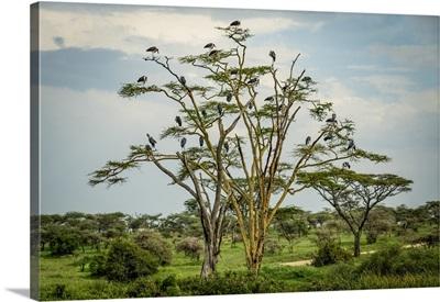 Flock Of Marabou Storks Perched In Tree, Serengeti National Park, Tanzania