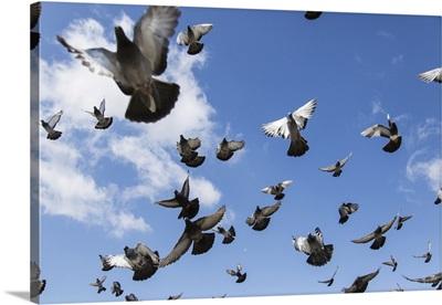 Flock Of Pigeons Taking Flight In A Blue Sky, Ulaanbaatar, Ulaanbattar, Mongolia