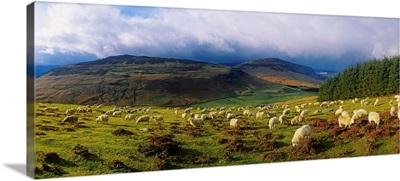 Flock Of Sheep Grazing In A Field, County Wicklow, Republic Of Ireland