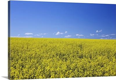 Flowering Canola, Central Alberta, Canada