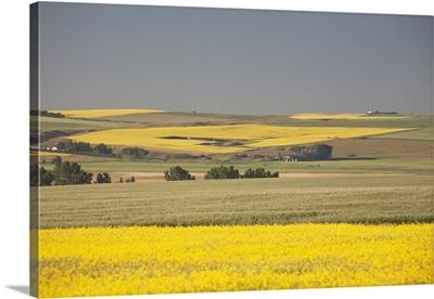 Flowering Canola Fields, Alberta, Canada