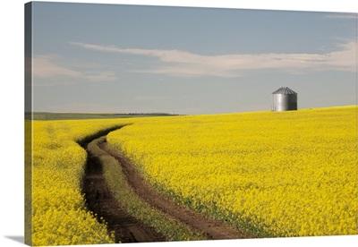 Flowering Canola With Grain Bins In The Field; Alberta, Canada
