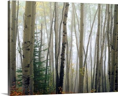 Foggy Aspen Forest Near Ester, Interior, Alaska