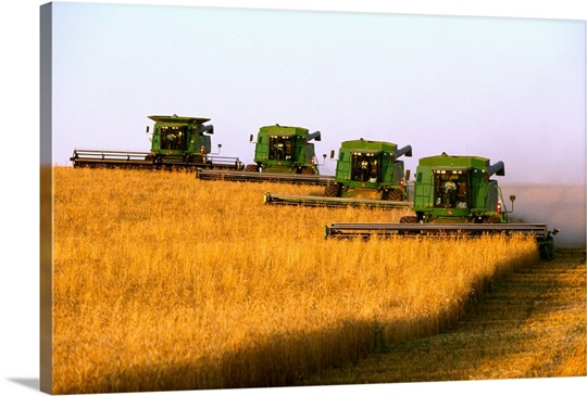 Four John Deere combines harvest wheat in tandem in late afternoon ...