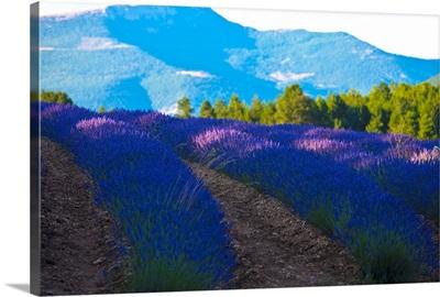 France, Provence-Alpes-Cote d'Azur, field of Lavender around Sault and Aurel