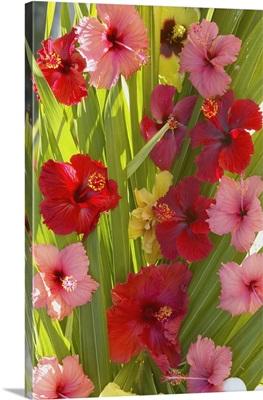 French Polyesia, Tahiti, Huahine, Red And Pink Hibiscus