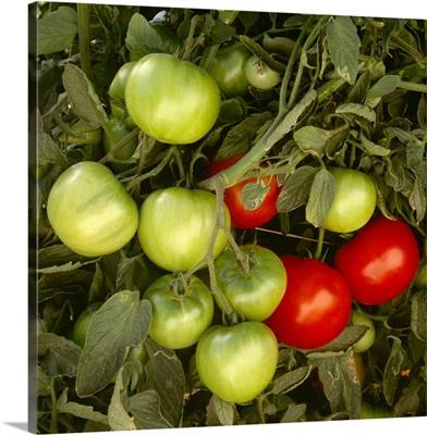 Fresh market tomatoes on the vine, California