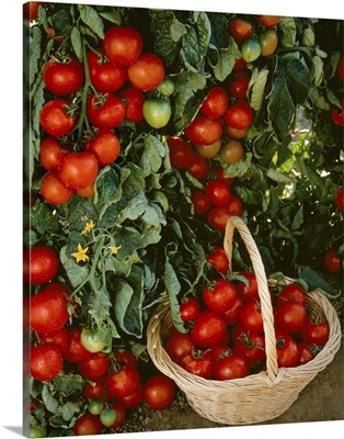 Fresh market tomatoes on the vines and in a basket