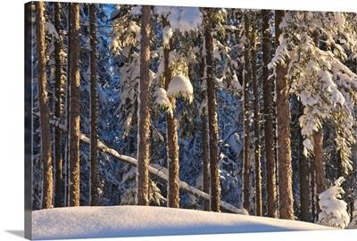 Fresh snowfall on spruce forest on the anchorage golf course, Alaska