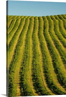 Freshly Cut Hay, Irishtown, Prince Edward Island, Canada