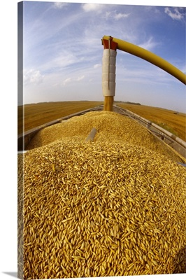Freshly harvested oats being augered into a grain truck