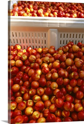 Freshly harvested ripe nectarines in field bins