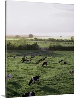 Friesian Bullocks, Ireland; Herd Of Cattle Grazing