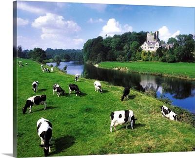 Friesian Cattle, Ballyhooley, County Cork, Ireland