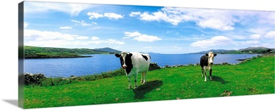 Friesian Cattle, Durrus, Sheep's Head, County Cork, Ireland