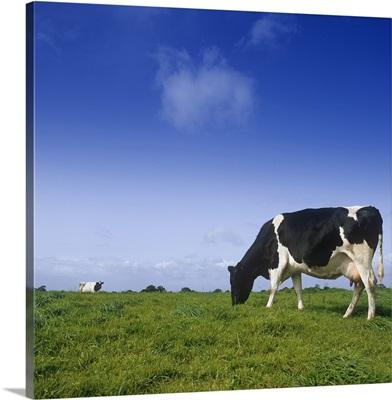 Friesian Cow Grazing In A Field, Republic Of Ireland