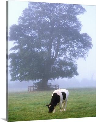 Friesian Cow, Ireland