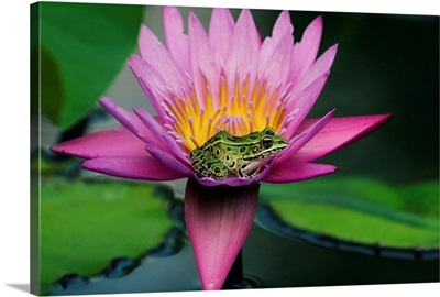 Frog On A Waterlily In Urban Pond, Leo Mol Garden, Winnipeg, Manitoba, Canada
