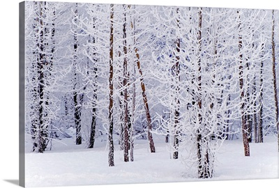 Frosty Cottonwoods