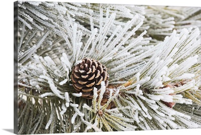 Frost Covered Pine Needles And A Pine Cone, Calgary, Alberta, Canada