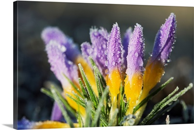 Frost forms on crocuses in the spring, Astoria, Oregon