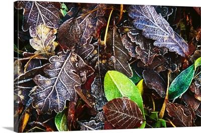 Frozen Oak Leaves, Glenveagh National Park, County Donegal, Ireland